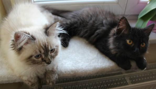 Blogkatzen-Kitten-Zorro-Simba