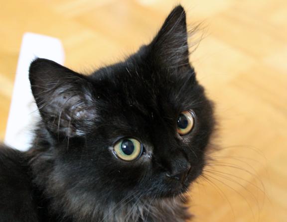Blogkatzen-Kitten Zorro