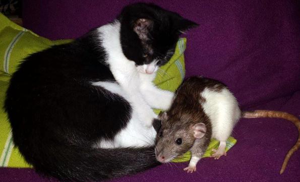 Kater mit Ratte