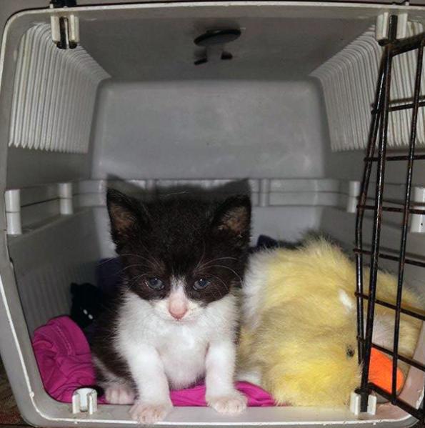 Kitten in Box