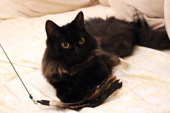 Zorro mit Kittycobra Katzenangel