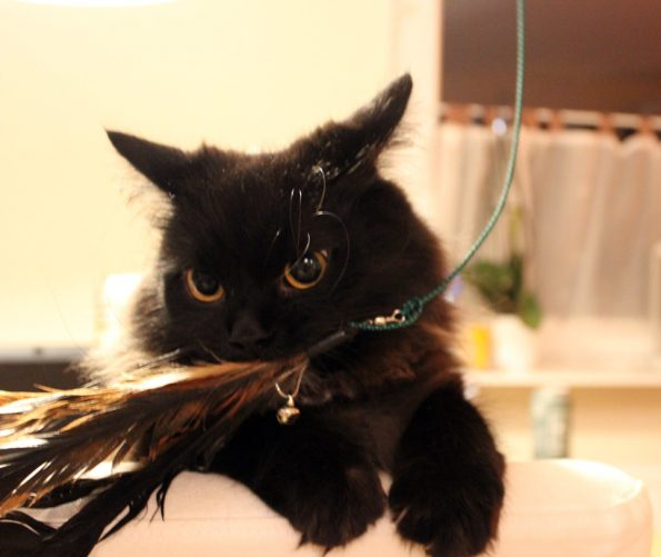 Zorro Katzengangel