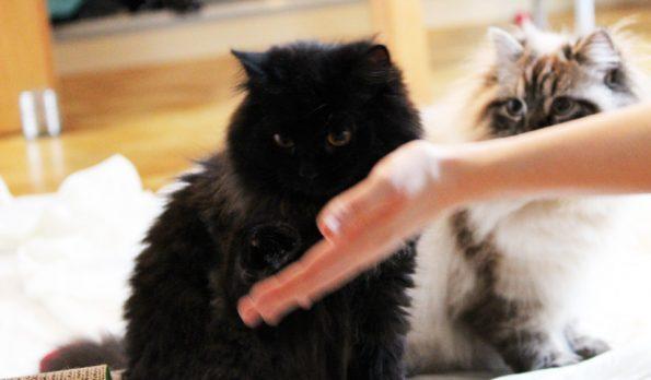 Clickern mit Katze- Trick Pfötchen