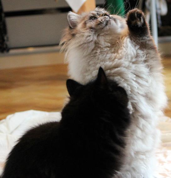 Clickertraining Katze- Männchen machen