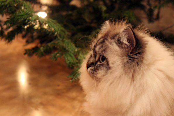 Katze mit Weihnachtsbaum