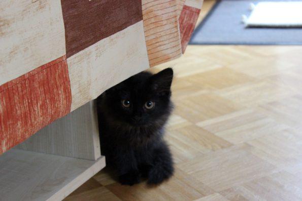 Kitten Zorro