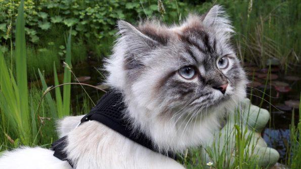 Freigang- Katze mit Leine