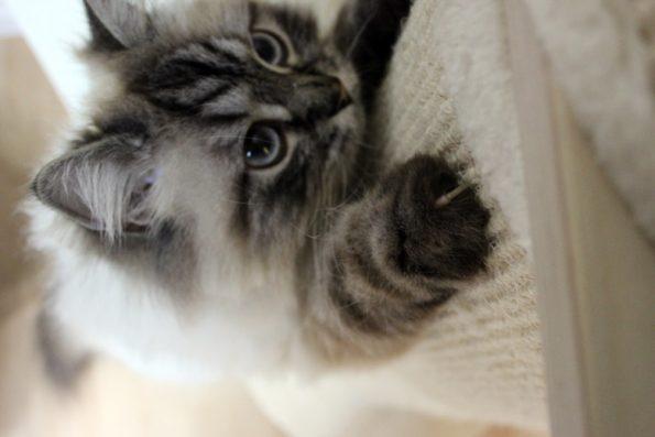 Katze kratzt an Sisal