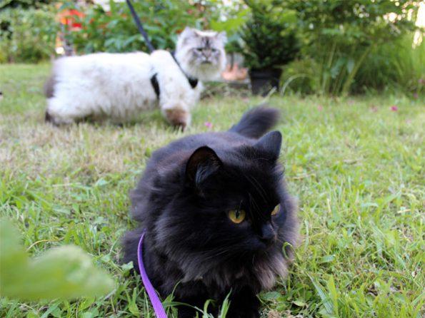 Katzen an der Leine
