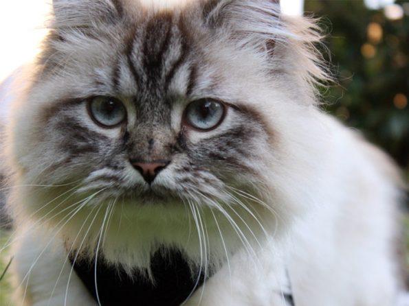 Katze mit Katzengeschirr
