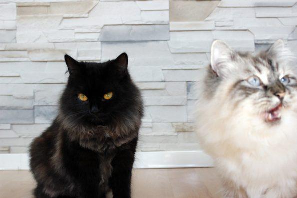 Katzenpaar- schwarz und weiß