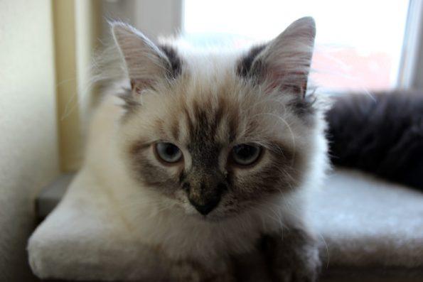 Kitten weiß