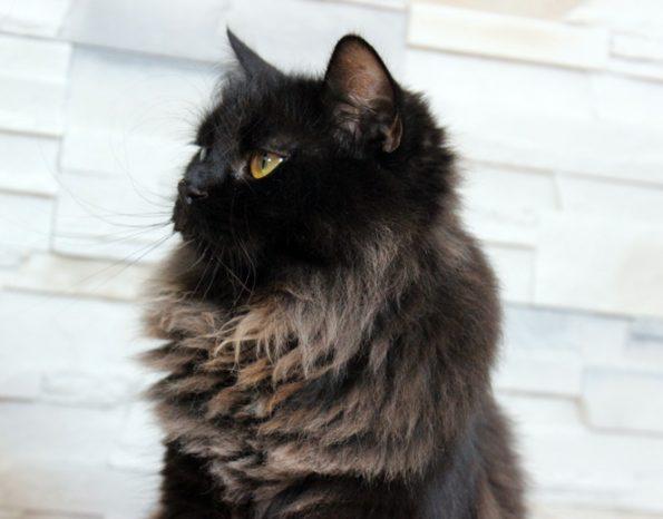 Maine Coon Katze- nah