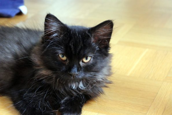 Kitten schwarz