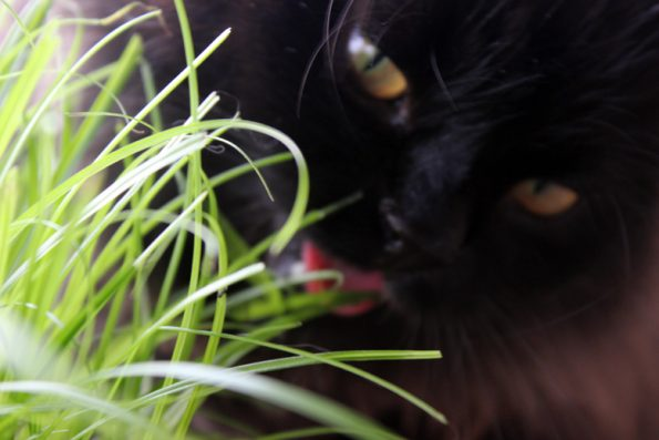 Katzengras essen
