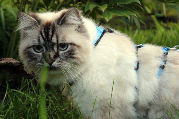 Katze im Garten an der Leine
