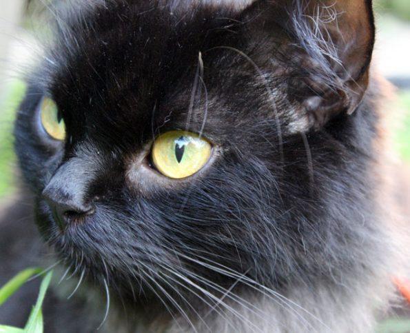Katzenportrait- Auge nah