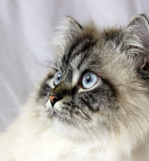 Meine Katze sieht schlecht – was tun? (inkl. Sehtest)