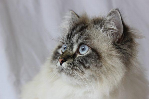 Blogkatzen Ragdoll Katze Simba