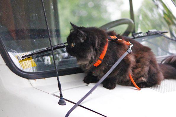 Katze auf Motorhaube