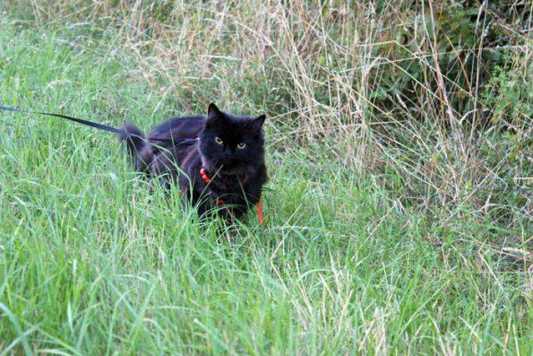 Katzenleine mit Zorro