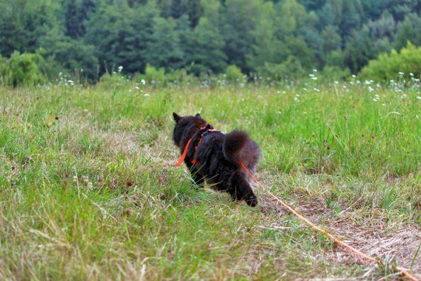 Katze an der Leine beim Spazieren gehen