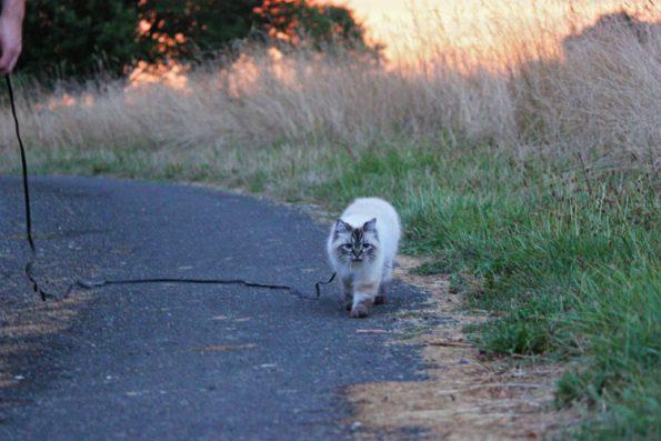 Katze geht spazieren auf Reisen