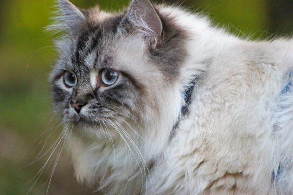 Gesicherter Freigang für Katze am Geschirr