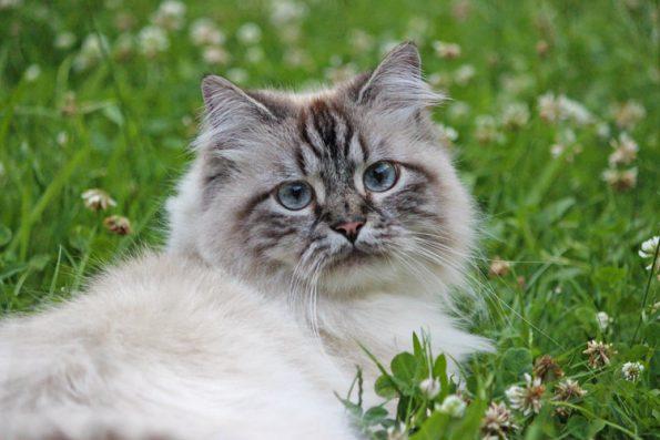 Giftige Pflanzen für Katzen- Katze auf Wiese