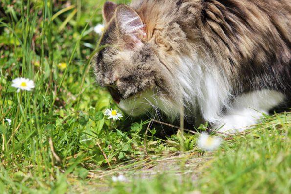 Giftige Pflanzen für Katzen - Gänseblümchen