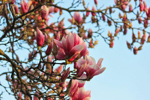 Magnolien Pflanze giftig für Katzen