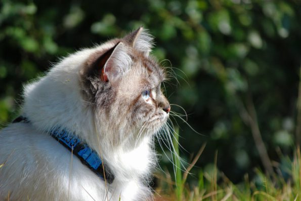Katze mit Geschirr im Portrait