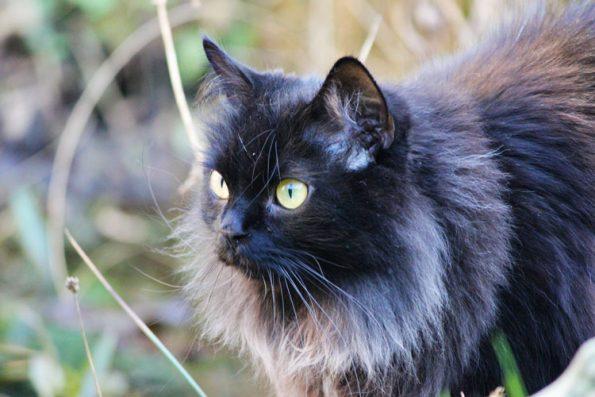 Maine Coon Zorro Blogkatzen- unterstütze uns