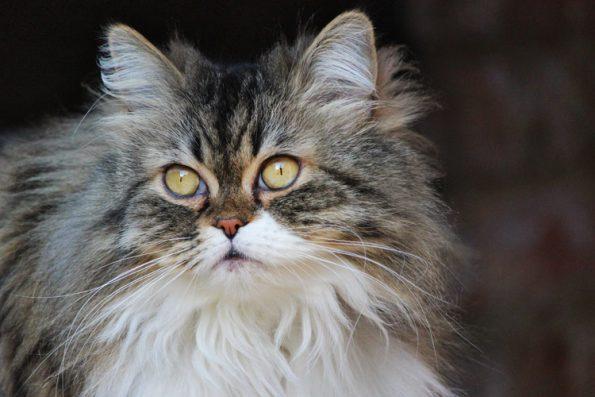 Corona-Virus bei Katzen- können sie es bekommen und übertragen?