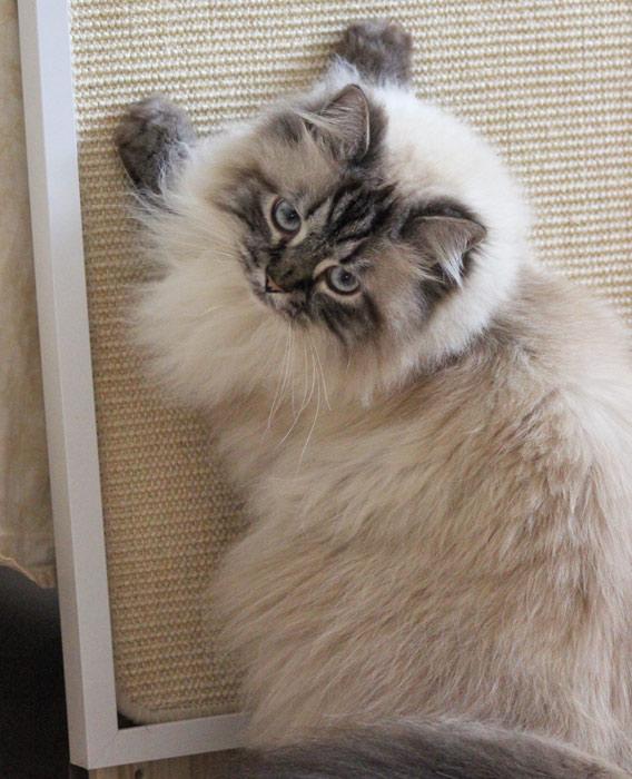 Katzen-Kratzbrett für die Wand