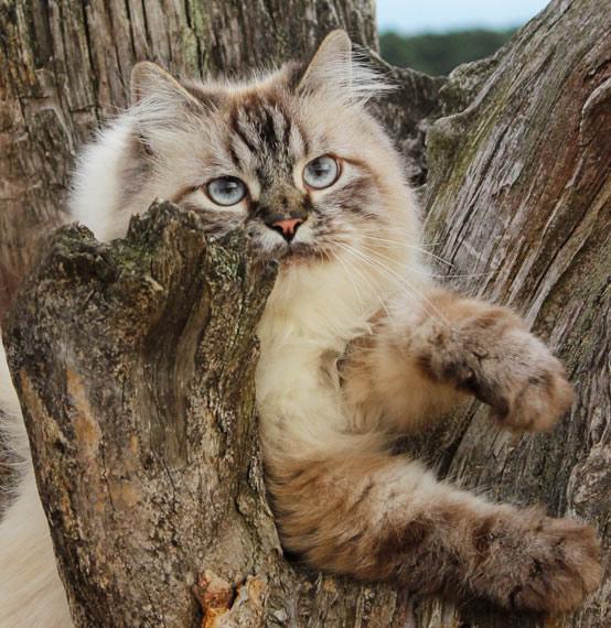Ragdoll Katze auf Ast