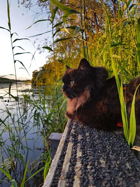 Katze Maine Coon am Fluß